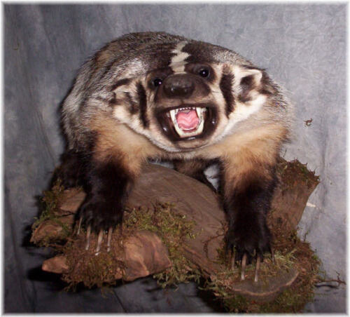 WISCONSIN BADGER OPEN MOUTH SNARLING TAXIDERMY MOUNT