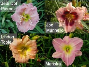 STILL MORE DAYLILIES FOR SALE only $1 per fan