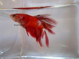 Koi Halfmoon Plakat Betta Fish (Males & Females) Cambridge Kitchener Area image 10