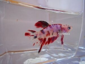 Koi Halfmoon Plakat Betta Fish (Males & Females)