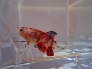 Koi Halfmoon Plakat Betta Fish (Males & Females) Cambridge Kitchener Area image 4