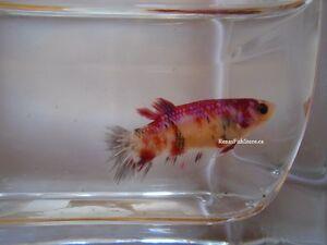 Koi & Black Dragon Halfmoon Plakat Betta Fish (Males & Females) Prince George British Columbia image 7