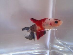 Koi Halfmoon Plakat Betta Fish (Males & Females) Cambridge Kitchener Area image 2