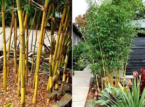 China gold bamboo large 300mm pots Berry Shoalhaven Area Preview