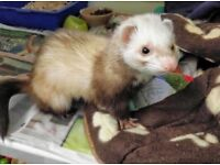 FREE Ferret to a GOOD HOME