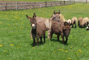 Miniature Jack Donkey