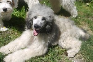 Small standard poodle female