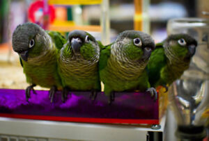 ❤★❤Handfed★Conures with Cage❤★❤