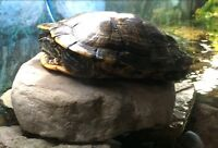 Free turtle - 7yr old red eared slider