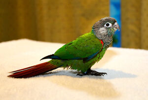 Gorgeous Pearly Conure Babies