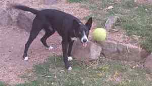 Free to good home - Kelpie x Kurrajong Hawkesbury Area Preview