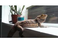 bearded dragon female free to good home llanelli area