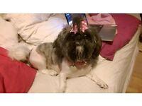 LOST DOG: Bailey, a white gray and brown female shih tzu - Riverside Caravan Park