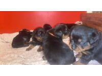 Full Pedigree Rottweiler Puppies! Kennel Club Registered!