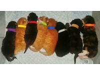 8 gorgeous cross Turkish Angora kittens