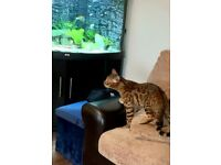 Male Golden Bengal looking for his forever home