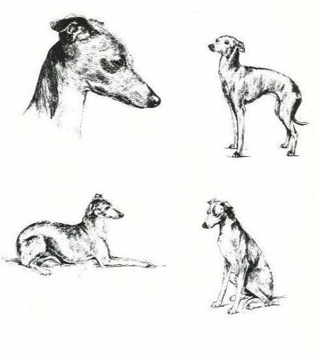 Italian Greyhound - 1963 Vintage Dog Print - Matted