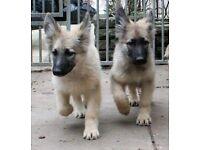 Vitahund German Shepherd 16 week old puppies (2 available) £750 each