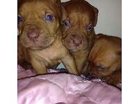 Dog de Bordeaux puppy / French mastiff