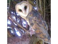 Lost our Barn owl billie