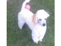 Beautiful female toy poodle