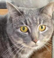 """Adult Female Cat - Tabby - Grey-Siamese: """"Heather and Nicole"""""""