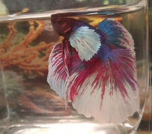 Dumbo Ear/Elephant Ear Betta Fish