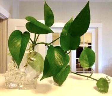 Heartleaf Philodendron Cuttings With Roots Many Available Plants Gumtree Australia Port Phillip Elwood 1189858294
