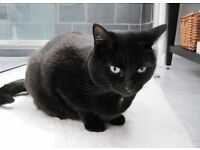 Loveliest black cat free to good home!