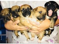 Miniature Jack Russell pups inc FULL PUPPY PACKAGE