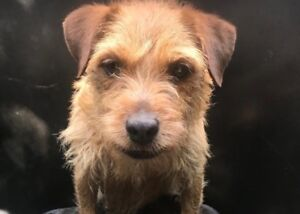 Working Patterdale Terrier pups