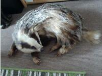 Vintage Taxidermy Badger