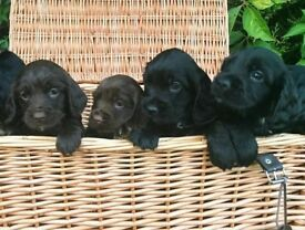 Gorgeous Sprocker Puppies