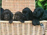 Gorgeous Sprocker Puppies