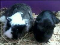 2 female guinea pigs for sale with cage