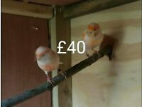 ******Canaries for Sale*****If you see this they are still for sale