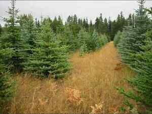 Evergreen Spruce trees for sale