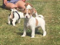 Bichon-Frise X jack Russell puppies for sale