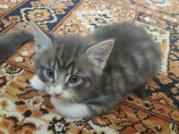 Kitten for sale ready to go today