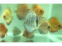 Mixed Discus for Sale | 3 Inch & 4 Inch Available | Turk, Pigeon Blood, Snake Skin
