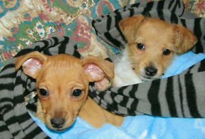 Morkie-Terrier Puppy Sisters  only $500 EACH** (til April 7)
