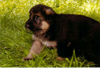 German Shepherd puppies -  well bred, family raised