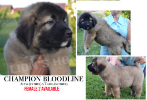 caucasian shepherd puppies with papers (PureBred)