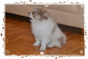 Pomeranian Chihuahua mix male pup