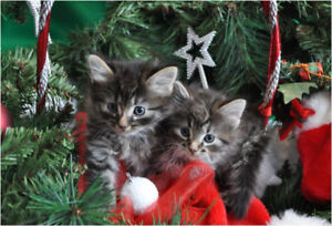 Irresistible Maine Coon/BengalX Christmas Kittens