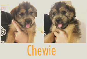 Chewie and Yuki are Available Through Pet Save  7056923319