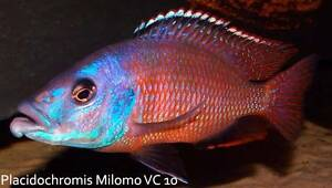 Plac. Milomo (VC10)....rare and stunning African Cichlids! Ormeau Gold Coast North Preview