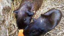 GUINEA PIGS to GIVE AWAY Marian Mackay Surrounds Preview