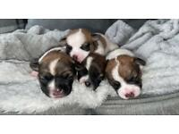 Jug puppies for sale! (More Jack Russell then pug)