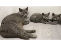Kittens British shorthair blue pedigree cat females males